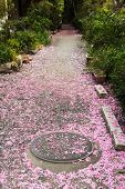The trail covered with pink flower petals of sakura in Kyoto.