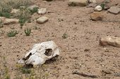 picture of cow skeleton  - Dried and bleached out cow skull in the desert - JPG