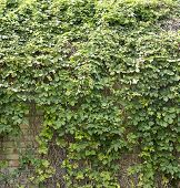 picture of creeper  - Green creeper plant on the roof background - JPG
