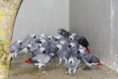 Confiscated Gray Parrots (psittacus Erithacus)