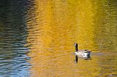 picture of canada goose  - Canada Goose on an Autumn Golden Pond - JPG
