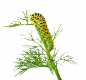 The Larva Of The Machaon Butterfly