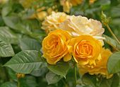 A bunch of beautiful yellow roses, Rose Garden Vancouver