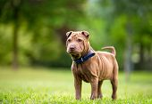 Shar Pei puppy in garden