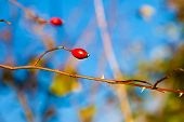 Red Hawthorn Berries, Healthy Wild Fruits On Blue Sky