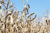 drought corn field