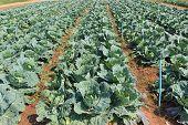 Cabbage, Brassica Oleracea Var Capitata.