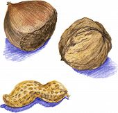 nuts, drawn with colored pencils