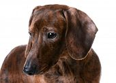 miniature smooth dachshund portrait on white background