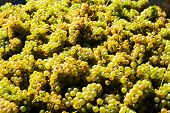 vintage in vineyard of a winemaker. vineyard in autumn. ripe grapes are harvested.