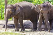 pic of indian elephant  - Indian Elephants walking in the Zoo - JPG
