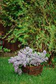 lilac bouquet in basket in spring garden