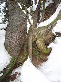 Fir-tree roots