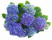 border of blue hortensia flowers