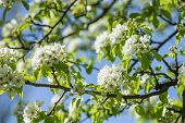 Blooming Of Pear Tree In Spring