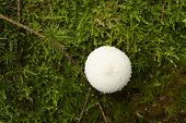 Common Puffball On A Mossy Forest Floor