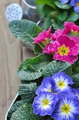 Pansies Covered With Dew