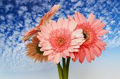 Chrysanthemum On Sky Background