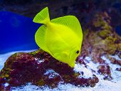 picture of butterfly fish  - underwater World aquarium animal fish butterfly tropical - JPG