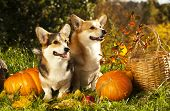 Welsh Corgi Pembroke dog and pumpkin