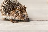 Small Funny Hedgehog On Wooden Floor