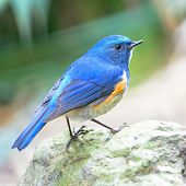 Male Himalayan Bluetail