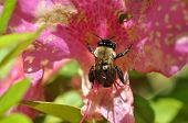 stock photo of bumble bee  - A single bumble bee on a pink flower in the sunlight - JPG