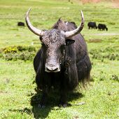 image of yaks  - Group of Yaks  - JPG