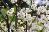Plum flowers,Flowering plum
