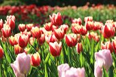 Tulip flowers,Curcuma,Common Tulipa,Common Garden Tulipa