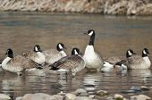 Flock Of Canada Geese Resting In A River