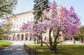 Magnolia Bush In Bloom Before The Castle Kromeriz