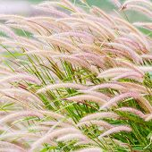 image of fountain grass  - Close up fountain grass against sunlight in field