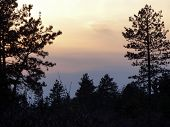Pines Silhouetted Against Pastel Sky