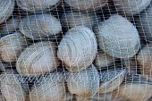 Littleneck Clams (Ameghinomya antiqua)