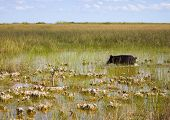Wild Bore In The Everglades Park In Florida