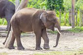 image of indian elephant  - Indian Elephant child in the zoo  - JPG