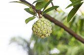 Custard Apple Fruit,annona Squamosa