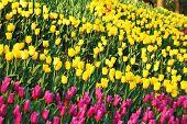 Tulip flowerbed