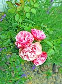 pic of rosa  - Flower of rosa odorata in the flowerbed - JPG