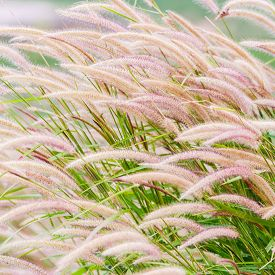 picture of blown-up  - Close up fountain grass against sunlight in field  - JPG