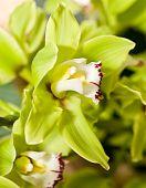 Green Cymbidium Or Orchid Flower