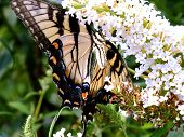 Eastern Tiger Swallowtail Butterfly On White Flowers