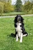 pic of border collie  - black and white border collie dog sitting in a park - JPG