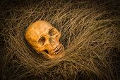 picture of morbid  - still life of skull on dried grass - JPG