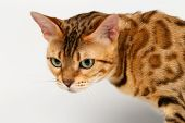 stock photo of bengal cat  - Close - JPG