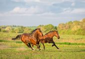 stock photo of wild horse running  - Two brown horse are running in the green field - JPG