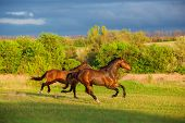 picture of wild horse running  - Two brown horses are running in the green field - JPG