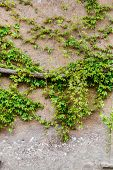 image of climber plant  - plant on wall - JPG