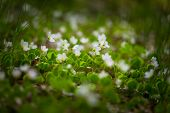 pic of sorrel  - Beautiful small flowers of wood sorrel blooming in early springtime in forests.